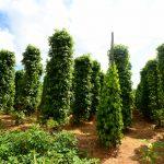 شجرة الفلفل الاسود , وفوائد ربانية