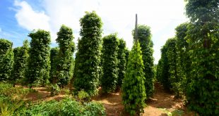 صور شجرة الفلفل الاسود , وفوائد ربانية