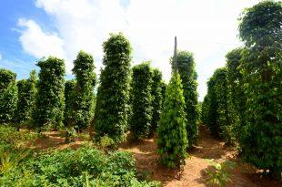صورة شجرة الفلفل الاسود , وفوائد ربانية