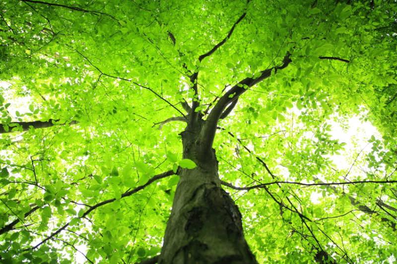 بالصور اطول شجرة فى العالم , اشجار العالم الاكثر طولا 15021 1