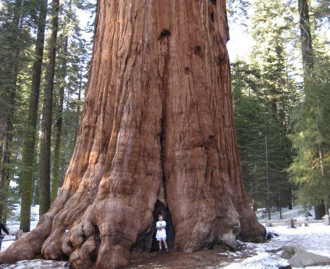 بالصور اطول شجرة فى العالم , اشجار العالم الاكثر طولا 15021 2