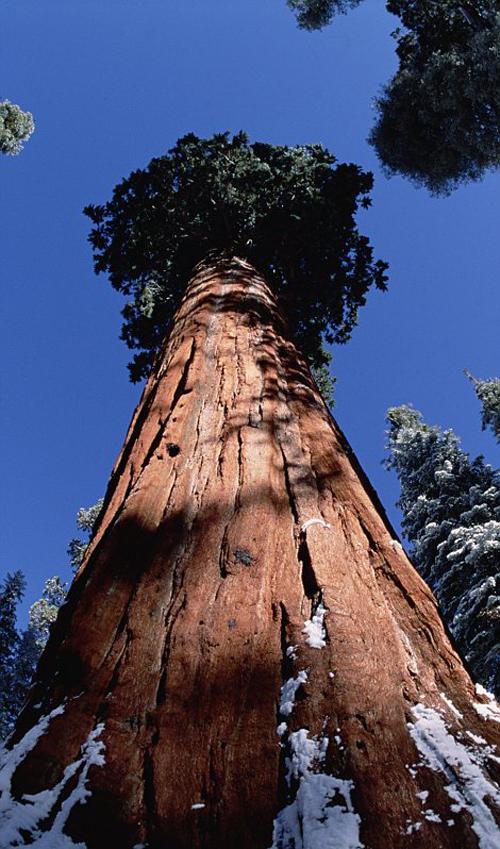 بالصور اطول شجرة فى العالم , اشجار العالم الاكثر طولا 15021 3