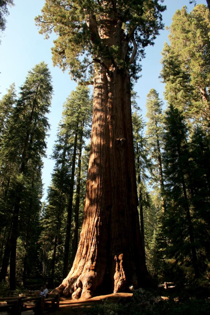 بالصور اطول شجرة فى العالم , اشجار العالم الاكثر طولا 15021 4