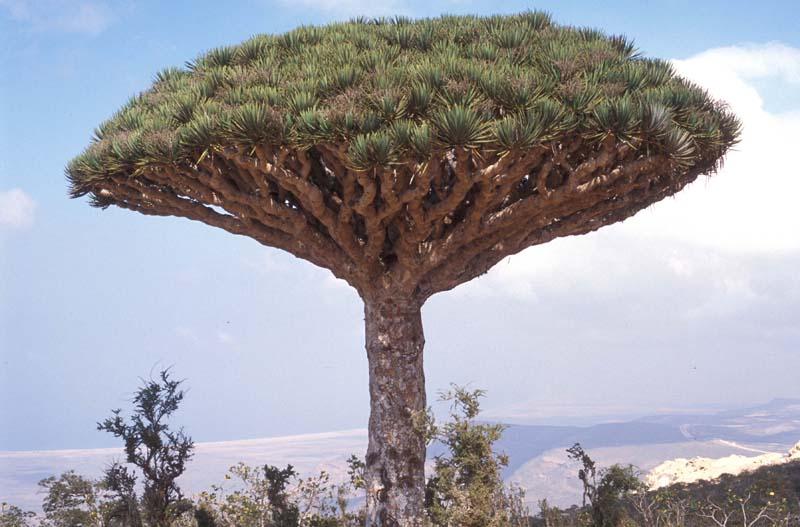بالصور اطول شجرة فى العالم , اشجار العالم الاكثر طولا 15021 6