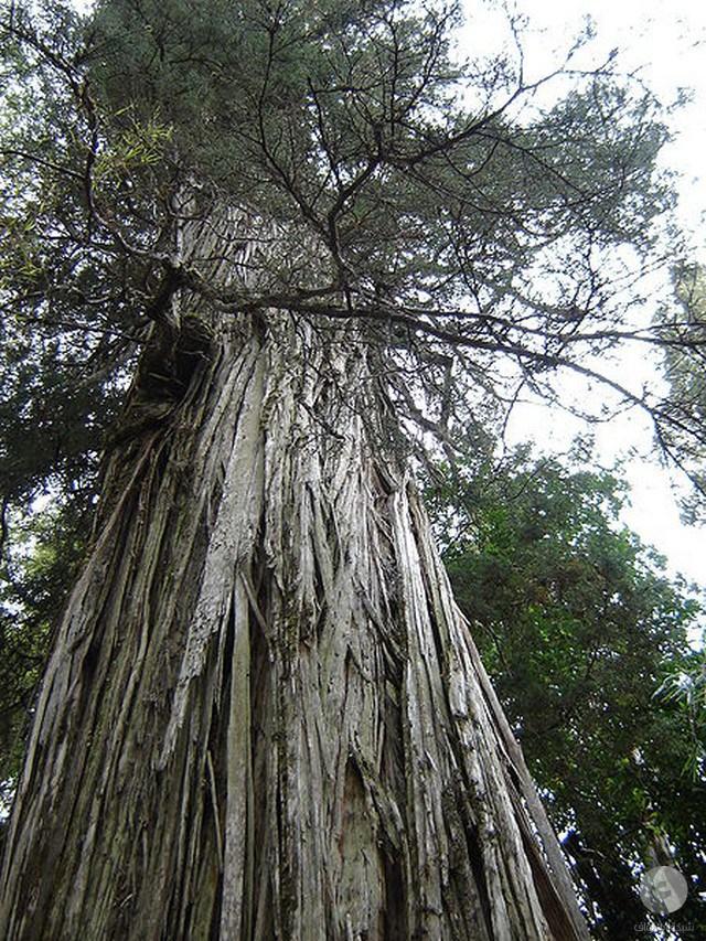 بالصور اطول شجرة فى العالم , اشجار العالم الاكثر طولا