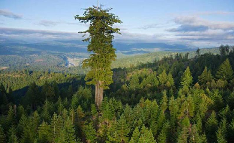 بالصور اطول شجرة فى العالم , اشجار العالم الاكثر طولا 15021