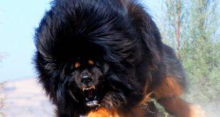 صورة اغلى كلب في العالم , لهواه تربية الكلاب