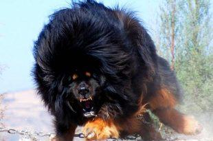 صوره اغلى كلب في العالم , لهواه تربية الكلاب