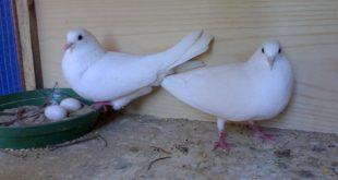 صورة صور حمام جماعي , احلى صور للطيور